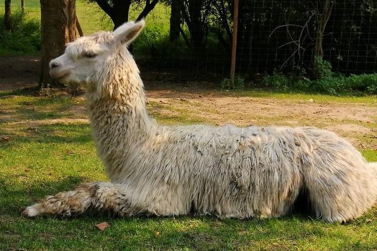 Scotty ist ein Suri-Alpaka. Bei Suris ist die Wolle feiner und hängt in seidigen, gewellten Strähnen vom Körper herunter.