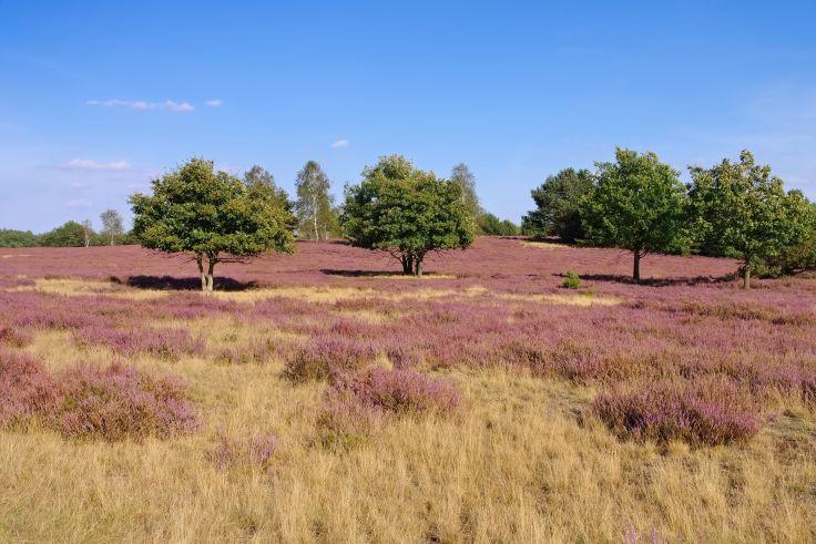 Violette Blütenpracht der Niederlausitzer Heide