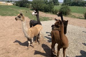 vier der sechs Alpakas auf dem Mohrenhof